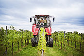 Winzer mit Vollernter – wine growers with harvester